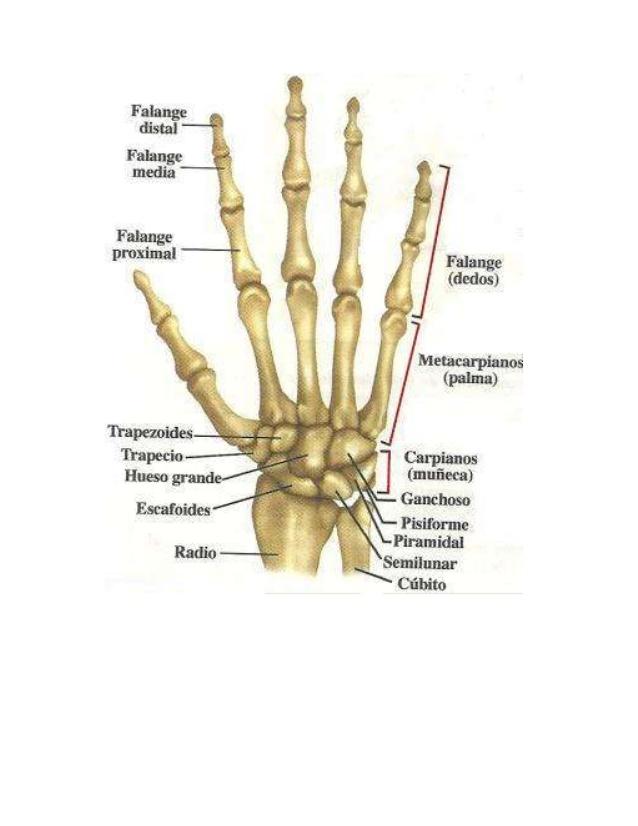 Carla Copoví » Anatomía de la mano