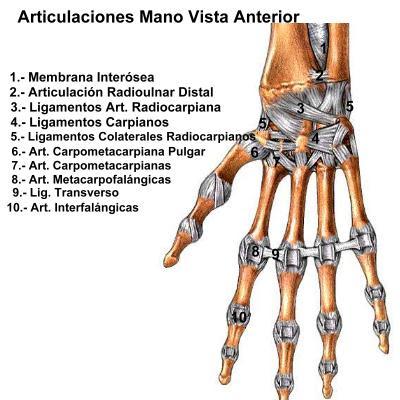 articulación mano